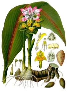 zitwer-Curcuma_zedoaria_-_Köhler–s_Medizinal-Pflanzen-048 (2)